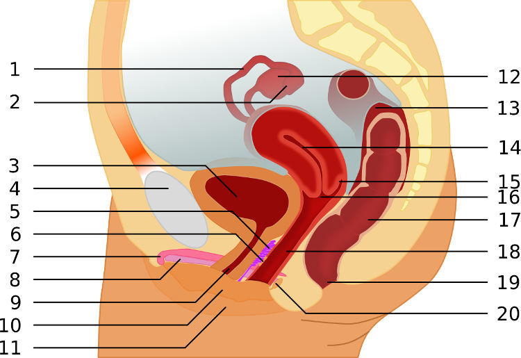 Female anatomy and G-spot explained